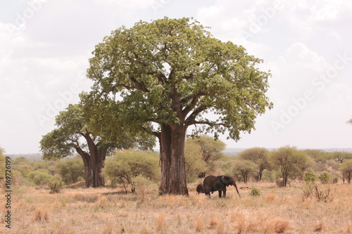 In de dag Baobab Serengeti wildlife