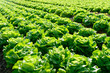 Salatfeld auf der Farm - Bauernhof