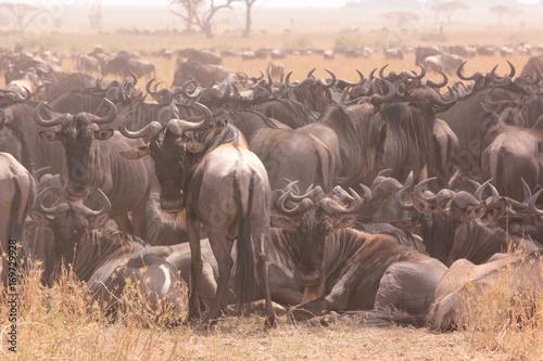 Photo  Serengeti wildlife