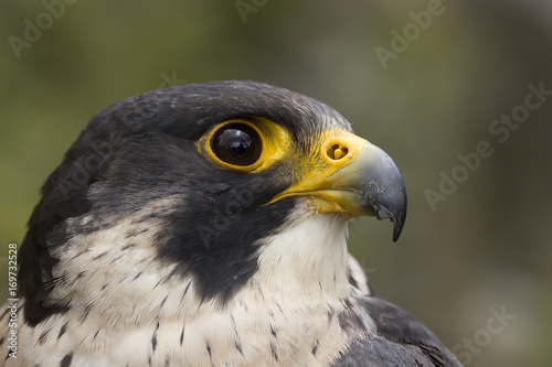 Photo portrait of a peregrine falcon - kestrel