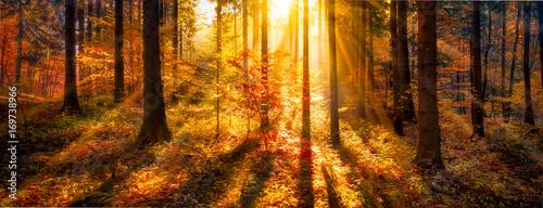 Foto op Plexiglas Oranje Sonnendurchflutete Waldlichtung im Herbst als Panorama