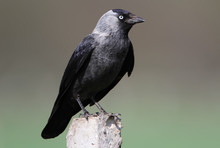 Close Up View On The Western Jackdaw (Corvus Monedula),