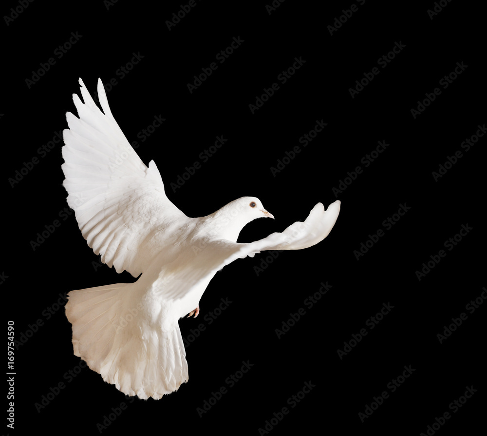 beautiful white pigeon on a black background