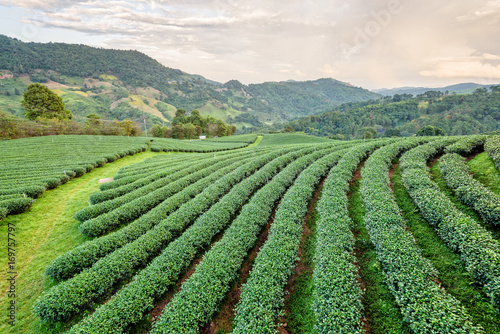 Fotobehang Olijf Beautiful natural landscape of green tea plantation in the mountains under the evening sunlight on Doi Mae Salong, Chiang Rai is a famous tourist destination in northern Thailand.