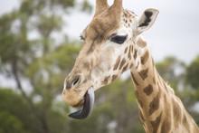 Giraffe Head Close Up With Tou...