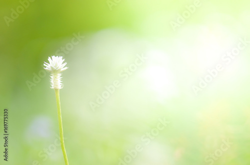 Fototapety, obrazy: white Grass flower on ground,nature background,macro background,select focus