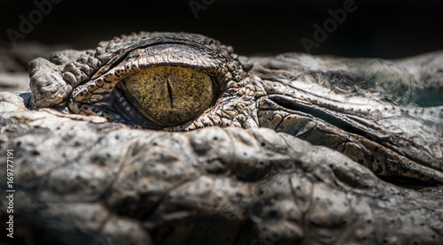 Eye of the Crocodile