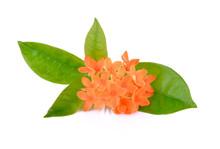 Orange Ixora ( Coccinea) Flowe...