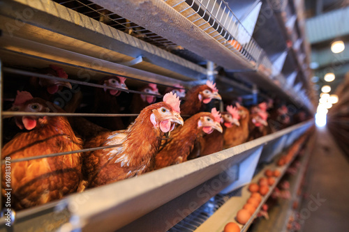 Photo Factory Chicken egg production