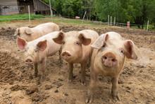 Pigs In Mud At Pig Breeding Farm
