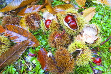 Fresh Chestnuts With Open Husk...
