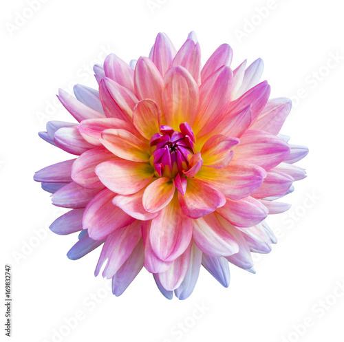 Fotografie, Tablou Beautiful pink dahlia Dahlia