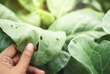 Farmer's Hand Checking A Vegetable Leaf With Holes, Eaten By Pest In Organic Farm, A Worldwide Serious Trouble Of Farming, Close-up Shot