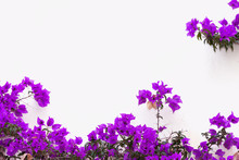 A Lilac Bougainvillea Grows On...