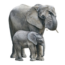 Elephant Mother And Baby On Wh...