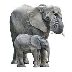 elephant mother and baby on white background. Elephant isolated