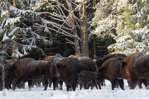 Poster Chasse Wild European Aurochs ( Wisent ),Calf And Mother.The Calf And Mother Of Brown Bison ( Bison Bonasus ) Are Standing On The Background Of Common Herd On A Snowy Field. Wildlife Animals In Winter.Belarus
