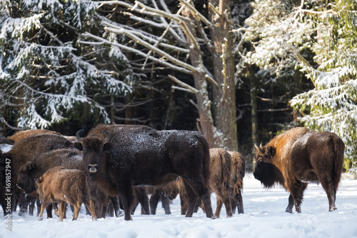 Poster Chasse Wild European Brown Bison ( Bison Bonasus ). Majestic Powerful Adult Aurochs ( Wisent ) In Winter Forest, Belarus. Female Of Brown Bison ( Bison Bonasus ) Standing On The Background Of Common Herd