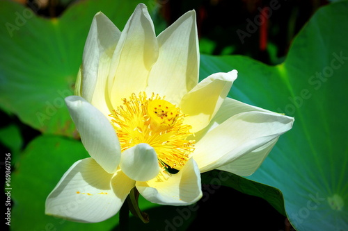 kwitnacy-kwiat-lotosu-na-duzych-zielonych-lisciach