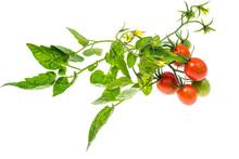 Tomato Leaf Isolated On White ...