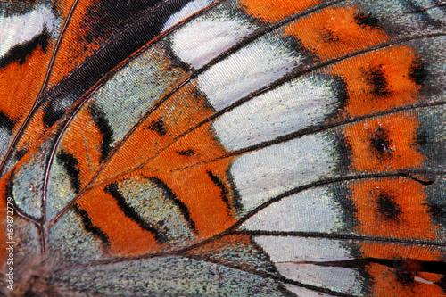 dettaglio delle ali di Limenitis populi Canvas Print