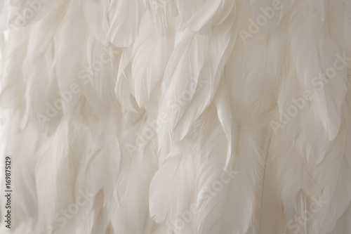 Poster Cygne Texture of white swan feather, delicate background