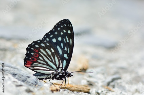Fotobehang Vlinder Butterfly from the Taiwan (Hestina assimilis formosana) Red spotted butterfly