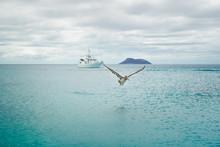Brown Pelican Flying. Pelican ...