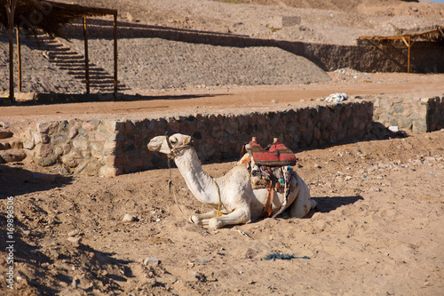 Fotografering  A big camel in Egypt waiting for a walk