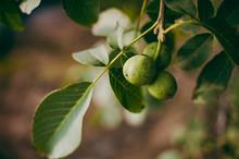A Green Walnuts On A Tree Branch