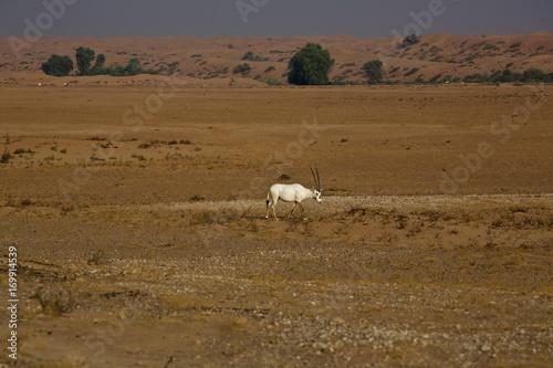 Foto op Plexiglas Afrika Arabian Orxy