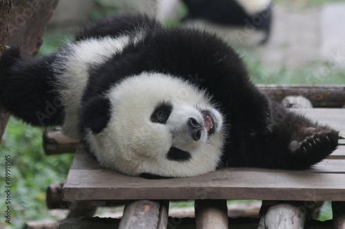 Stickers pour portes Panda Sweet face of Fluffy Baby Panda in Chongqing, China