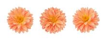 Dahlia Flower Set Isolated On ...