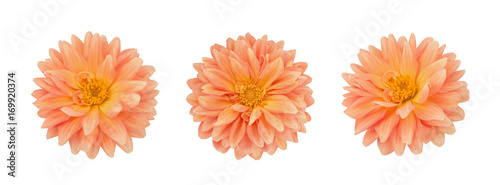 Dahlia flower set isolated on a white.