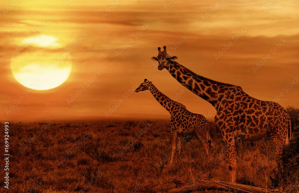 Giraffes at African Savanna