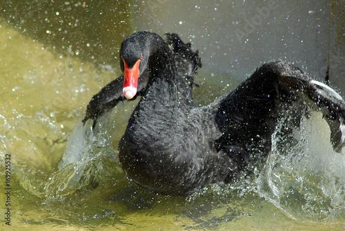 Photo Black Swan bathing
