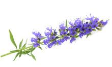 Fresh Hyssop Flowers
