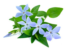 Periwinkle Sprig With Flowers
