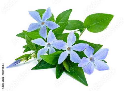 Obraz na plátně periwinkle sprig with flowers