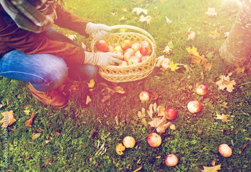 Plakat kobieta z koszem zbieranie jabłek w ogrodzie jesienią
