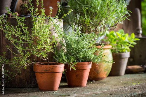 Photo  Aromatic and healthy herbs in summer garden