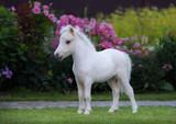 American miniature horse. Palomino foal  in garden.