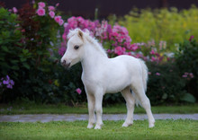 American Miniature Horse. Palo...