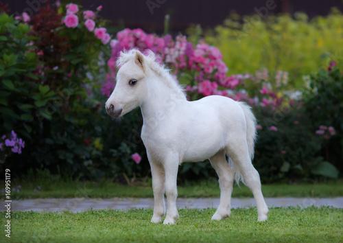 Leinwand Poster American miniature horse. Palomino foal  in garden.