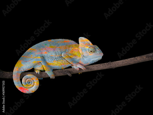 Cadres-photo bureau Cameleon Chameleon on a branch with a spiral tail. Gray-yellow scales