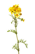 Common Ragwort Flowers