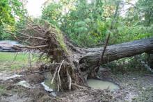 A Large Live Oak Tree Uprooted...