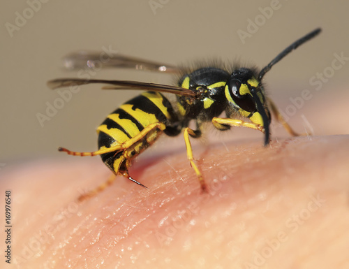 Valokuvatapetti striped angry wasp stuck a sharp thorn in the human skin