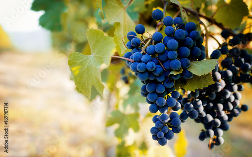 Italian vineyards of Langhe near Alba (Piedmont), with grapes ready for harvest Wallpaper Mural