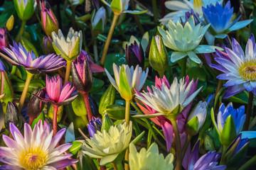 Obraz na SzkleLotus flower (Tropical water-lily)